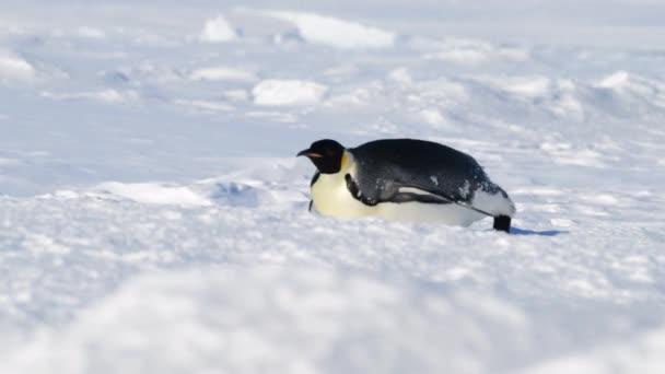 Emperor Penguins on the snow n Antarctica