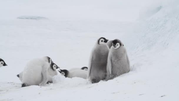 Limperatore Pinguino pulcini, Aptenodytes forsteri, sul ghiaccio in Antartide
