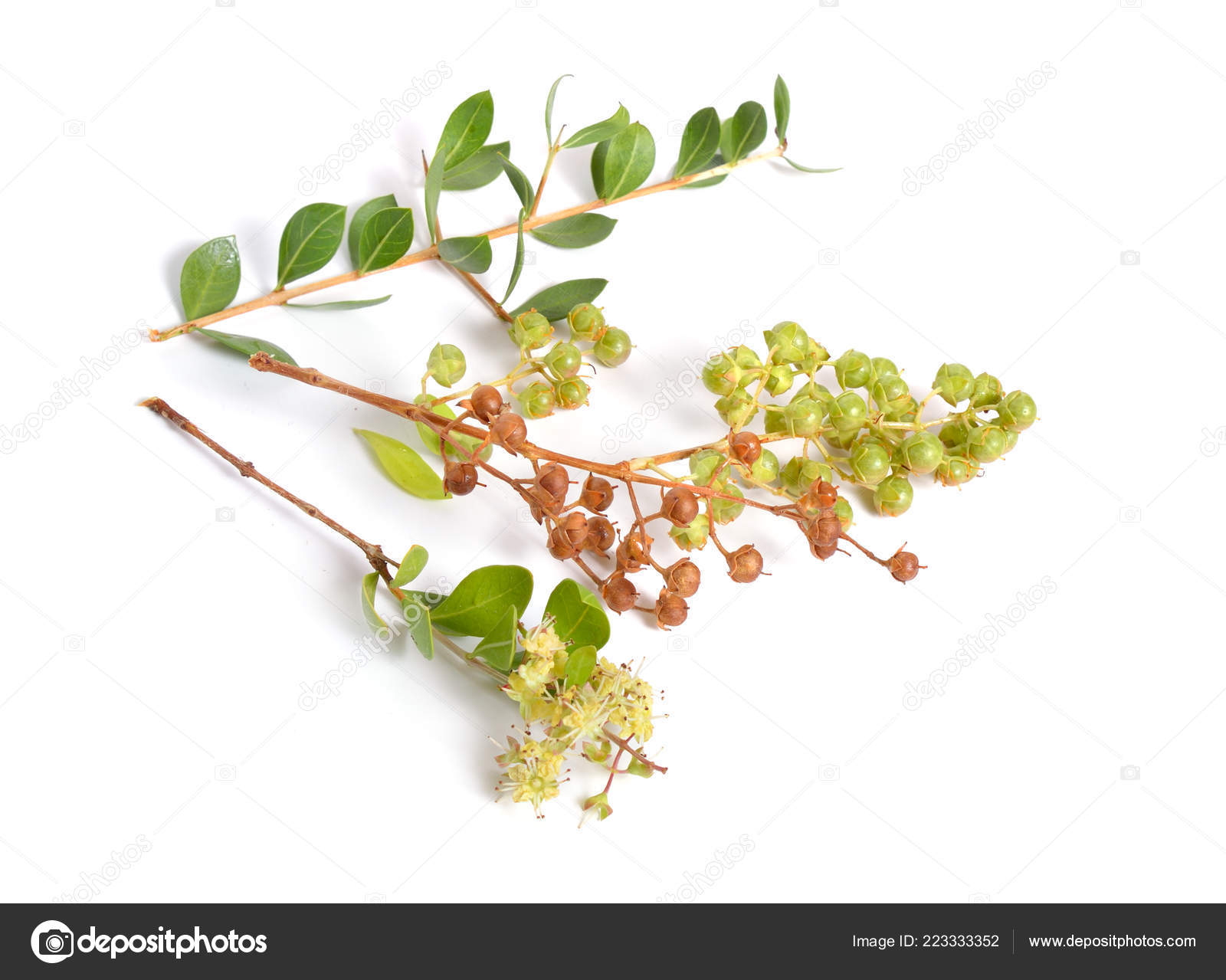 Lawsonia Inermis Also Known Hina Henna Tree Mignonette Tree Egyptian