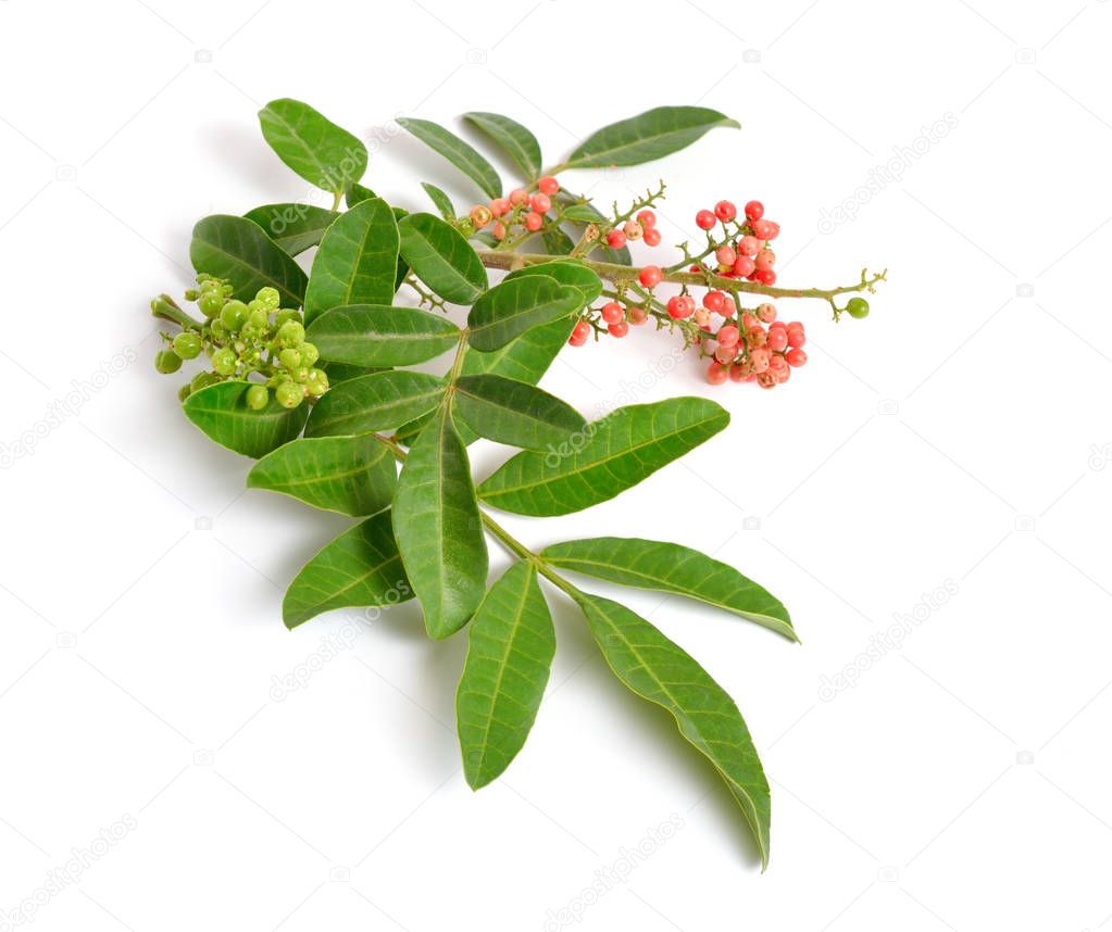 Schinus terebinthifolia or Brazilian peppertree, aroeira or rose pepper, broadleaved pepper tree, wilelaiki or wililaiki, Christmasberry and Florida Holly isolated.
