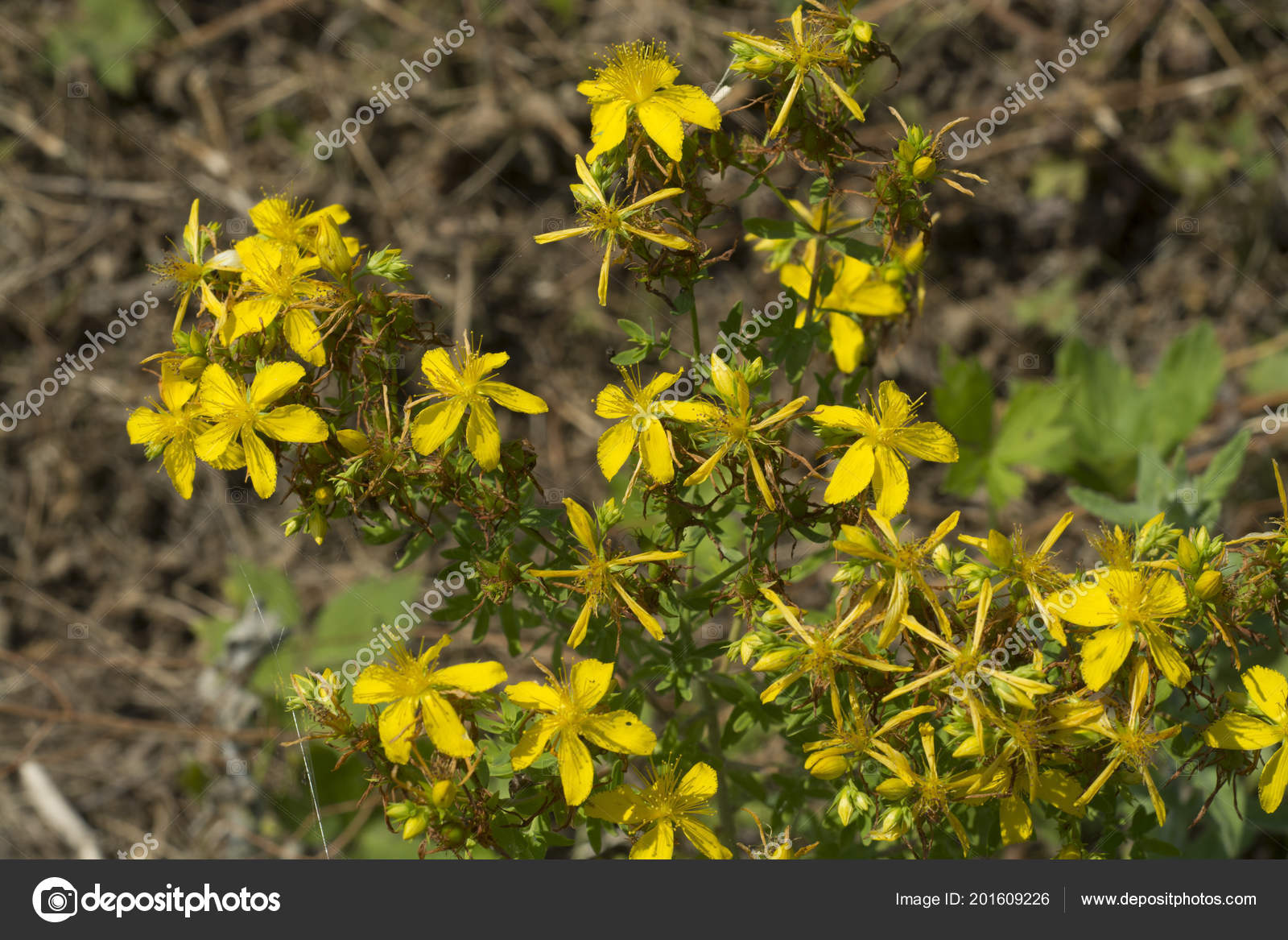 Flower Medicinal Plants Hypericum Perforatum Aka Perforate John Wort