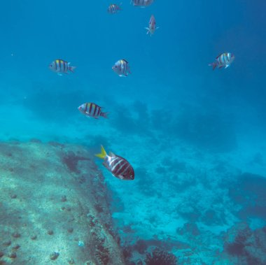 Underwater landscape with tropical coral fishes. School of dascillus fish