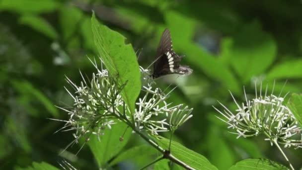 Monarch motýl closeup/Monarch butterfly detailní na bílý květ, Thajsko - video v pomalém pohybu