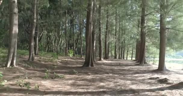 Beautiful forest during sunny day/Wooded forest trees backlit by sunlight before sunset with sun rays pouring through trees on forest floor illuminating tree branches - video in slow motion