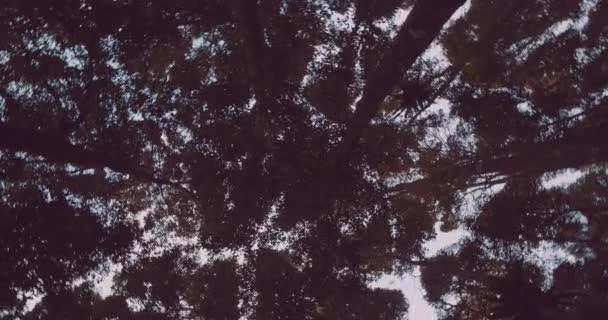 Stromy v lese / Spodní pohled kruhu střílel stromů v lese proti obloze