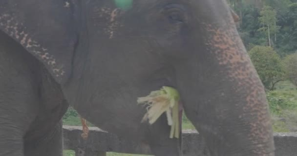 Closeup az elefánt fejét rágás pálmalevelek járás közben