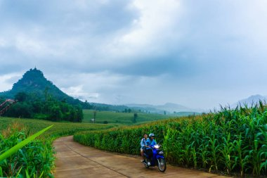 Corn field in rainy season , Green with harvest.