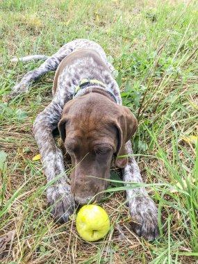 Puppy dog  breed German Shorthaired Pointer.