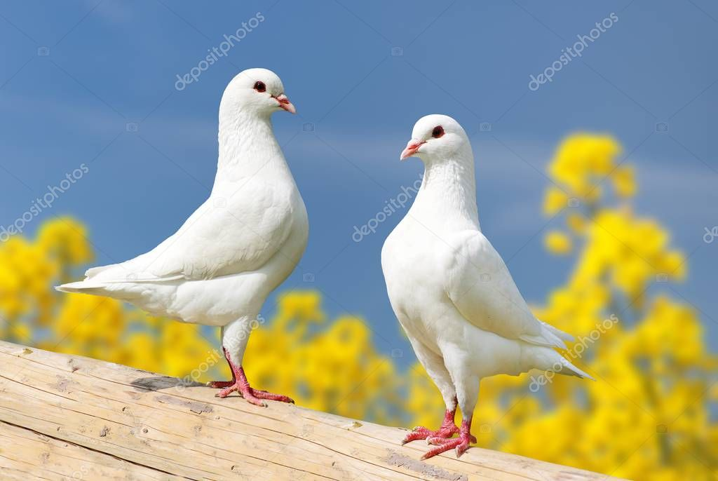 Beautiful view of two white pigeons on perch with yellow flowering rapeseed background and blue sky, imperial pigeon, ducula