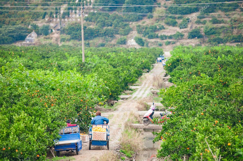 Tangerine garden in the south of China with ripe oranges ready to be harvested by People on electric charts. horizontal shot
