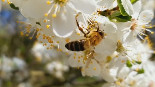 Bee collects nectar on the flowers of white blooming apple  Anthophila,  Apis mellifera  Close up  No sound