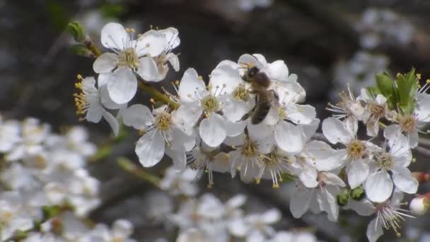 Két méh nektárt gyűjt a virágok fehér virágzó alma. Közelről. Nincs hang