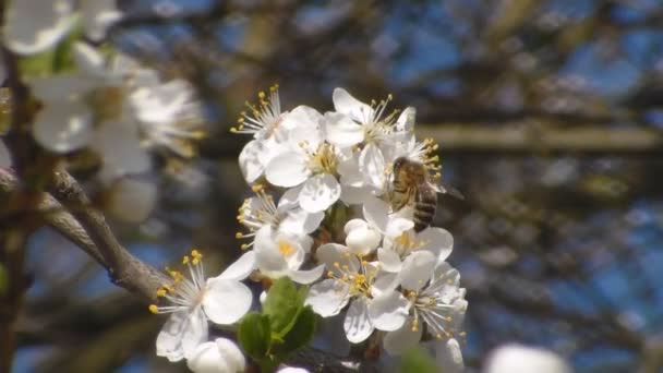 bee collects nectar on the flowers of white blooming apple. Anthophila, Apis mellifera. Close up. No sound