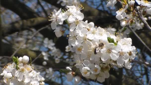 méh összegyűjti nektárt a virágok fehér virágzó alma. Az, hogy az Apis mellifera. Közelről. Nincs hang