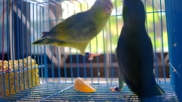 Kettő kicsi papagáj játék-ban kalitka együtt