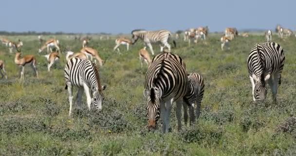 Burchells zebra in african bush, Etosha, Namibia