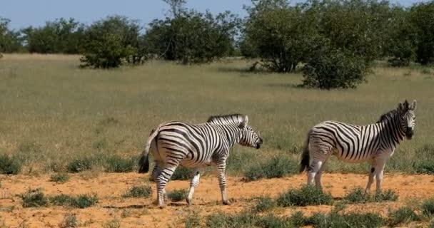 Hravý stepní zebry v africké bush, národní Park Etosha Namibie wildlife