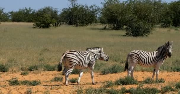 Playful Burchells zebra in african bush, Etosha national Park, Namibia wildlife