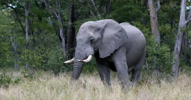 Botswana-vadon élő afrikai elefánt