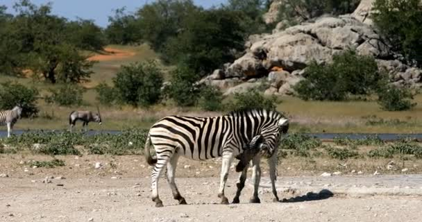Játékos Burchell zebra az afrikai bokor, Etosha Nemzeti Park, Namíbia wildlife