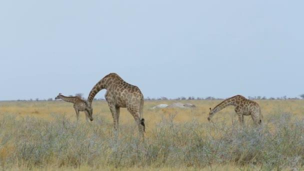 Zsiráf-zsiráf az afrikai bokor. Namíbia, Etosha Nemzeti Park, Ombika, Kunene. Afrikai safari kicsapongó élet és természet