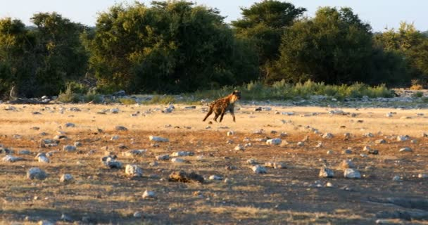 Spotted hyena walk cautiously to waterhole, Etosha National Park, Namibia