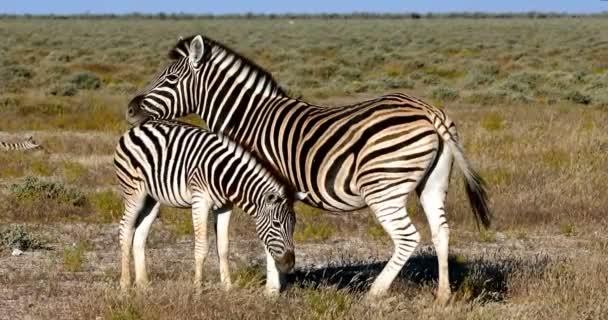 Zebra with calf in african bush. Etosha National Park, Namibia, Africa safari wildlife