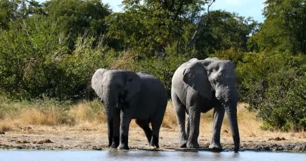 Moremi játék reserve, Okavango Delta, Botswana vadon élő állatok safari vadon élő afrikai elefánt család