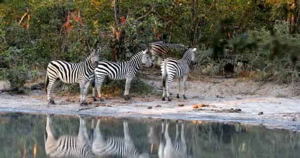 herd of Burchelli Zebra on waterhole in african bush. Moremi National Park Okavango, Botswana, Africa safari wildlife