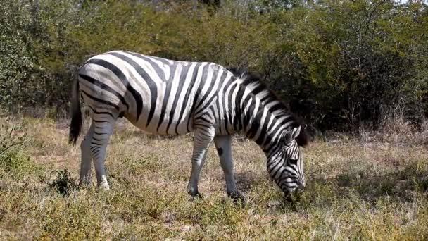 Zebra graze, Botswana, Africa safari wildlife