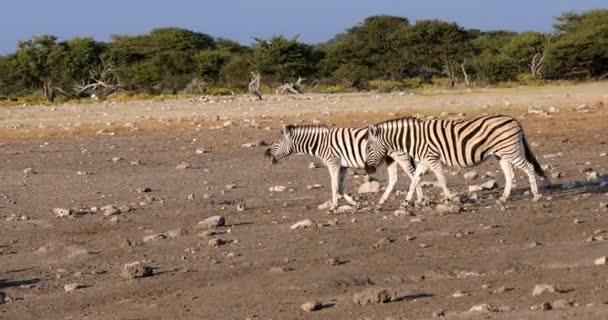 Zebra v Etosha Napajedla, Namibie wildlife safari