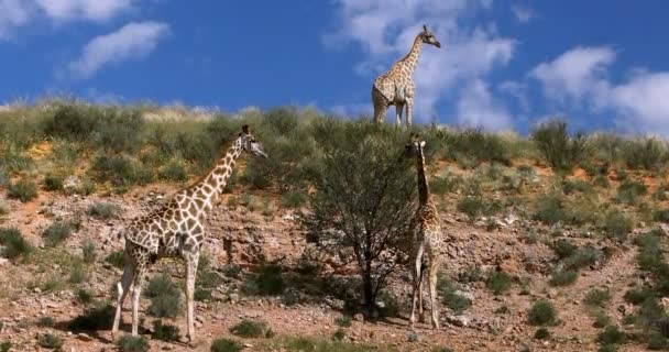 roztomilé žirafy (žirafa) v Kalahari, zelená poušť po dešti sezóny. Wildlife safari Kgalagadi přeshraniční Park, Jihoafrická republika
