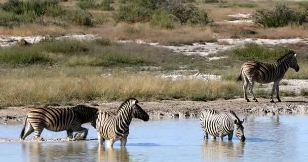 Burchells zebra v africké bush koupání na Napajedla, národní Park Etosha, zelené vegetace po dešti sezóny. Namibie wildlife wildlife safari, Afrika
