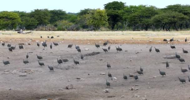 hejno chocholatých guineafowl Etosha, Namibie Afrika