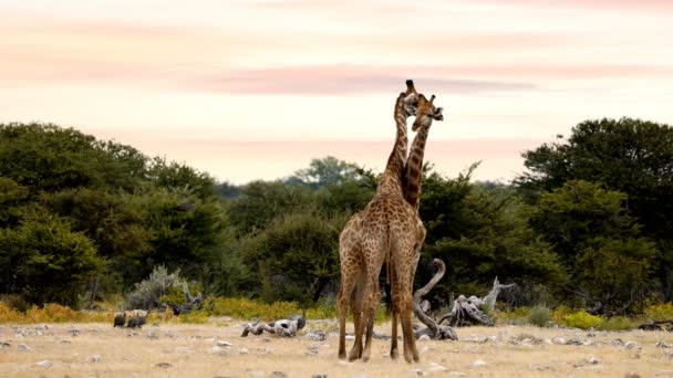 Two cute Giraffes in love in Etosha, Namibia safari wildlife Africa