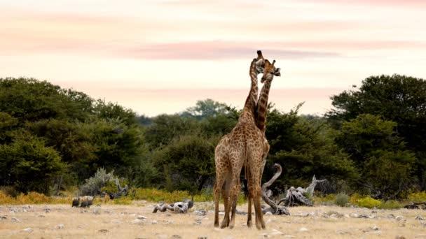 Dvě roztomilé žirafy v lásce v wildlife safari Etosha, Namibie Afrika