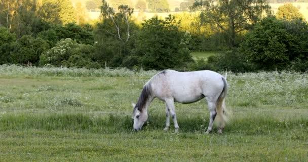 fehér ló egy tavaszi rét legelő