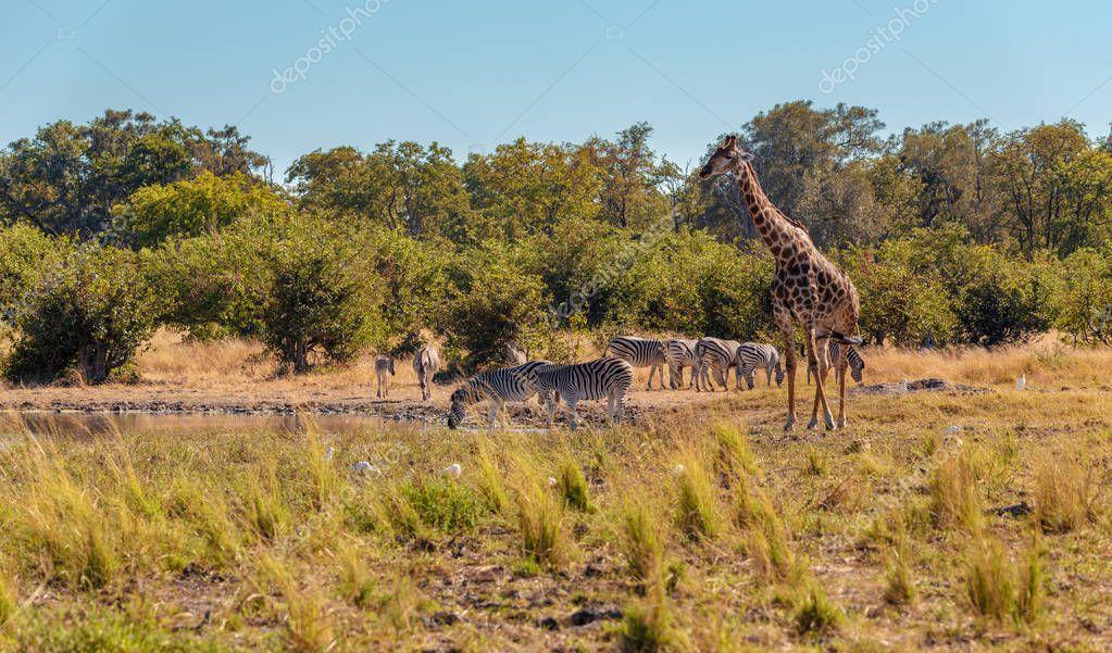 Zebras and giraffe on waterhole. Moremi game reserve, Botswana, Africa safari wildlife