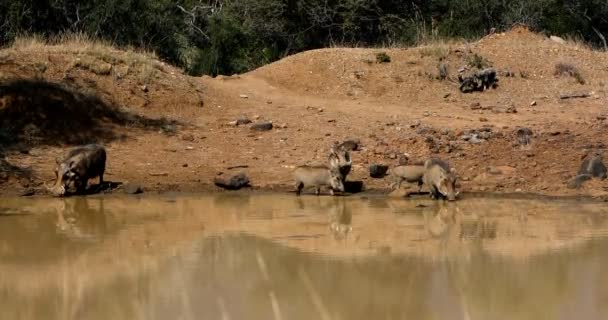 Family of African pig Warthog on waterhole in Pilanesberg game reserve, South Africa safari wildlife
