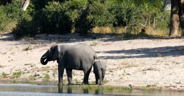 Női, afrikai elefánt, baba, a például a Bwabwata, Caprivi-sáv vadaspark, víznyelő Loxodonta Namíbia, afrikai Szafari kicsapongó élet és természet