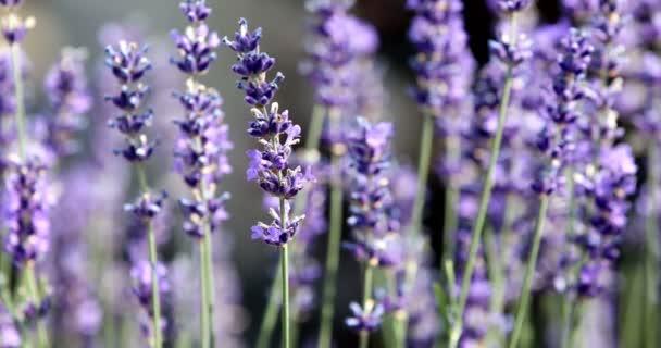 summer lavender flowering in garden, close up with shallow focus. Summer background