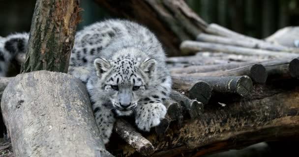 playful baby kitten of cat Snow Leopard, Irbis, Uncia Unca