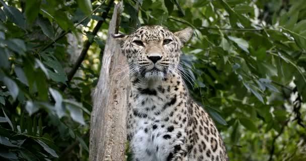 Ceylon Sri Lankan leopard (Panthera pardus kotiya), Cat was listed as Endangered on the IUCN Red List