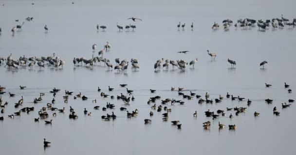 hejno Jeřáb popelavý na jezeře, migrace v národním parku Hortobágy, Maďarsko, pusta je jedním z největších luční a stepní ekosystémy v Evropě a světového dědictví UNESCO