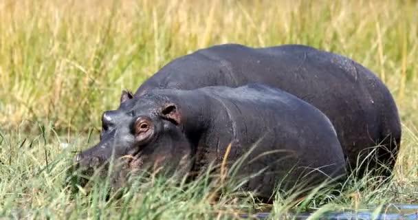 Großes Flusspferd (Nilpferd amphibius) in natürlichem Lebensraum, grast am Ufer des Flusses. moremi, okawango delta, botswana