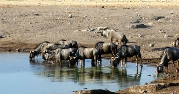 wild Blue Wildebeest Gnu drinking from waterhole in Etosha, Namibia Africa wildlife safari. African scenery in natural habitat