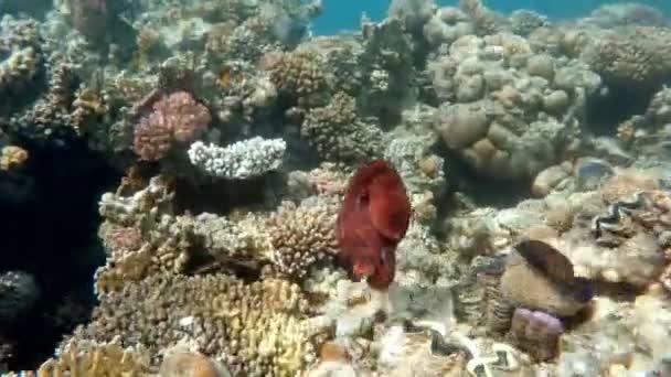 útes chobotnice (Octopus cyanea) na korálech. Cyanea Ukázat jak změnit kamuflážní barvy, vzory a textury kůže