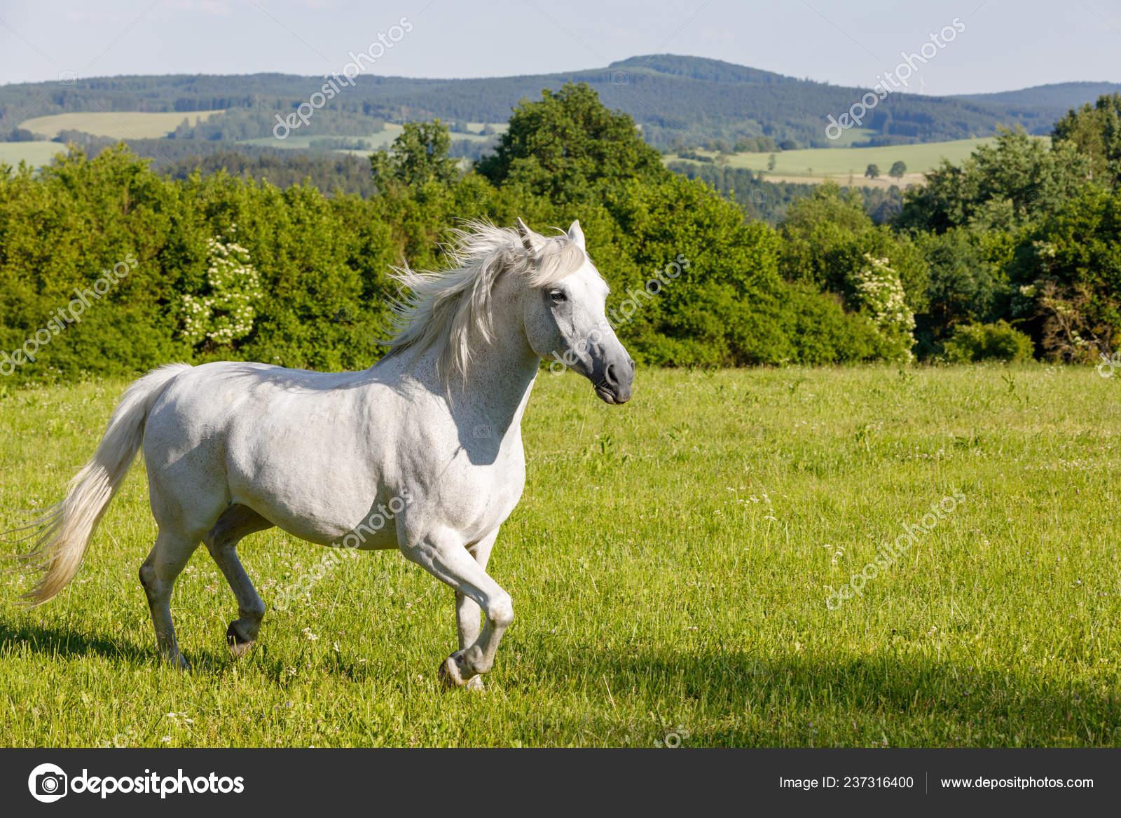 Beautiful White Horse Running Spring Pasture Meadow Farm Countryside Rural Stock Photo C Artush 237316400