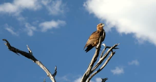 Tawny Adler (Aquila Rapax), große Raubvogel im natürlichen Lebensraum, Moremi Wildreservat, Botswana Afrika Safari wildlife