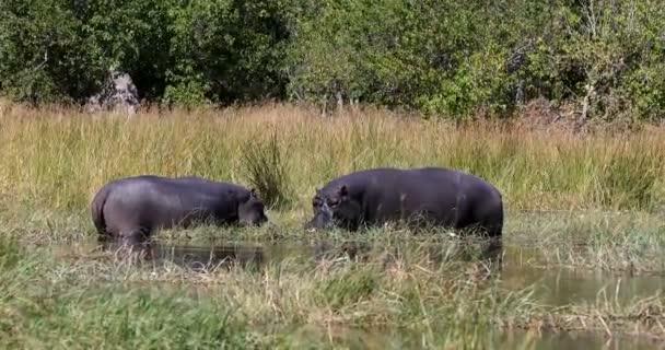 Ruhe ang grasen am Ufer des Flusses großen Flusspferd Flusspferd Flusspferd Flusspferd im natürlichen Lebensraum Okavango Fluss. Nationalpark moremi, okawango, botswana africa safari wildlife